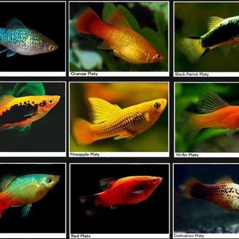 Platy Assorted Aquarium Fish