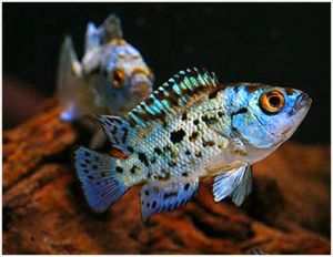 Powder Blue Jack Dempsey Cichlid