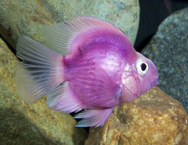 Purple Jellybean Parrot Cichlid   Arizona Aquatic Gardens