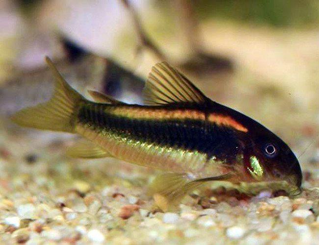 Dwarf panda cory catfish arizona aquatic gardens for Cory cat fish