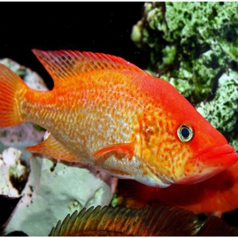 Red Bay Snook Cichlid