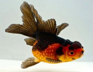 Oranda Red & Black Oranda Goldfish