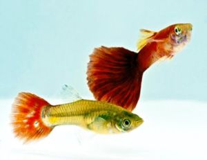 Red Blonde Guppy Male & Pairs
