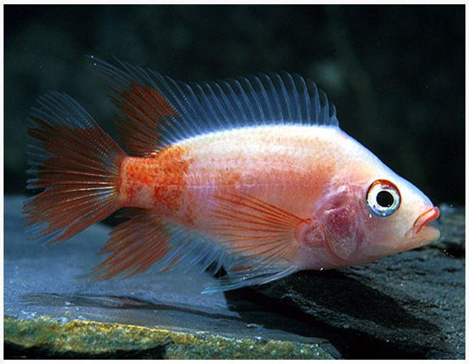 Red devil cichlid freshwater fish arizona aquatic gardens for Red devil fish