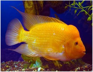 Red Devil Cichlid Freshwater Fish