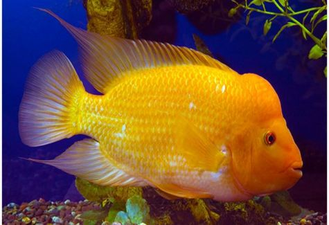 Pink jellybean parrot cichlid arizona aquatic gardens for Cichlid fish for sale