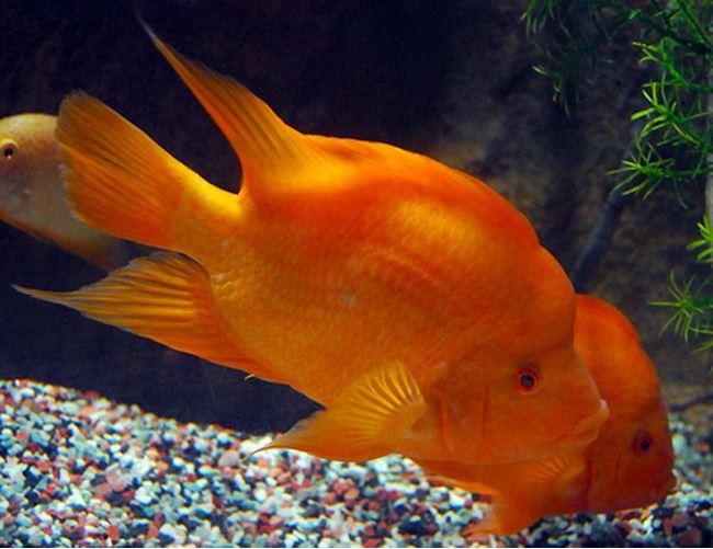 Gamefish red devil gamefish arizona aquatic gardens for Red devil fish