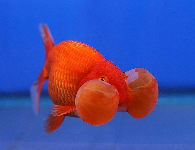 red dragon bubble eye goldfish arizona aquatic gardens
