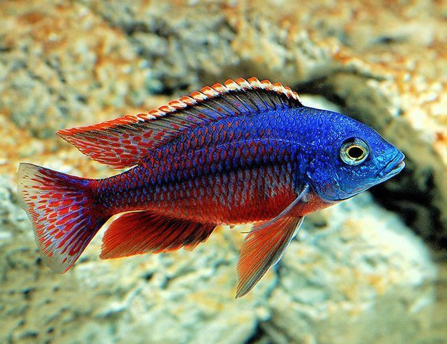 African Cichlid Fish | Red Empress East African Cichlid Aquarium Fish Arizona Aquatic Gardens