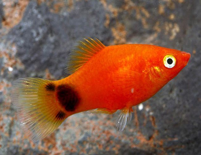 Red Mickey Mouse Platy Aquarium Fish