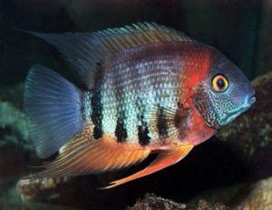 Red Shoulder Severum Cichlid Freshwater Fish