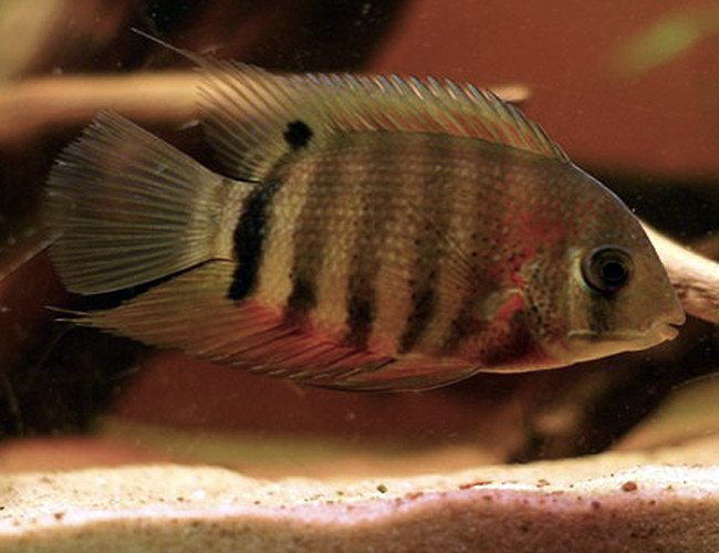 Red shoulder severum small cichlid freshwater fish for Small freshwater aquarium fish