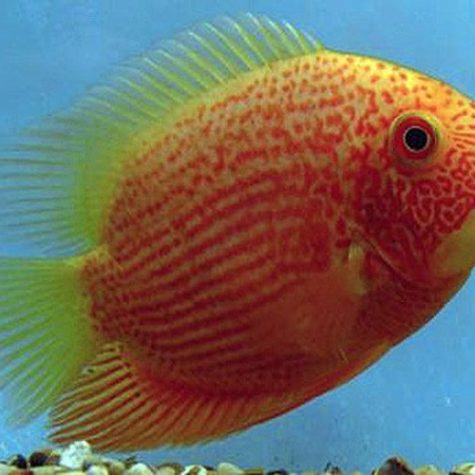Red-Spotted Gold Jumbo Severum Cichlid Fish