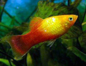 Red Sunset Swordtail  Live-bearer Aquarium Fish