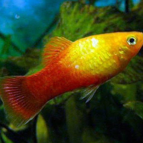 Red Sunset Swordtail Fish in Fresh Water
