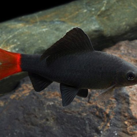 Red-Tailed Black Tropical Shark