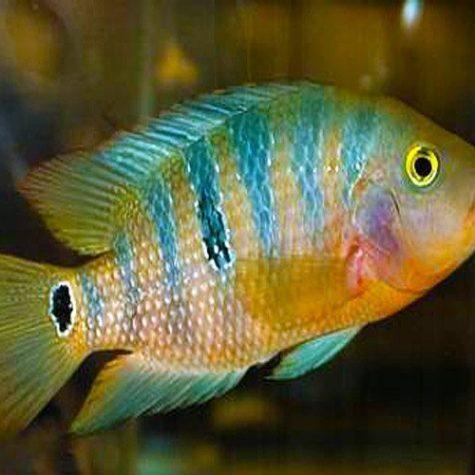 Red Terror Mayan Cichlid Aquarium fish