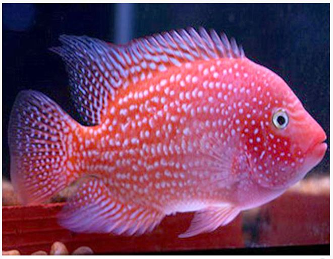 Red texas flowerhorn cichlid arizona aquatic gardens for Parrot fish facts