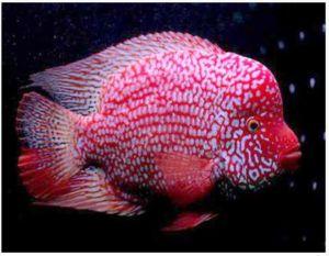 Red Texas Flowerhorn Cichlid