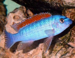 Red Top Trewavasae Cichlid