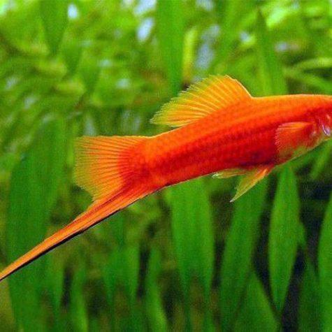 Red Velvet Swordtail Fish in a Freshwater Aquarium