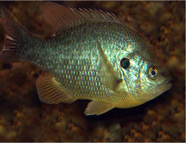 Redear sunfish shellcracker gamefish 1 to 3 size for Shell cracker fish