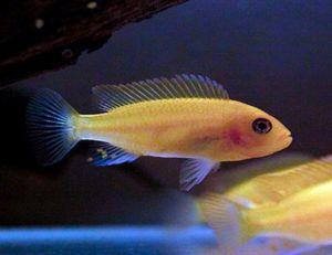 Rock Dwelling Mbuna Cichlid Freshwater Aquarium Fish