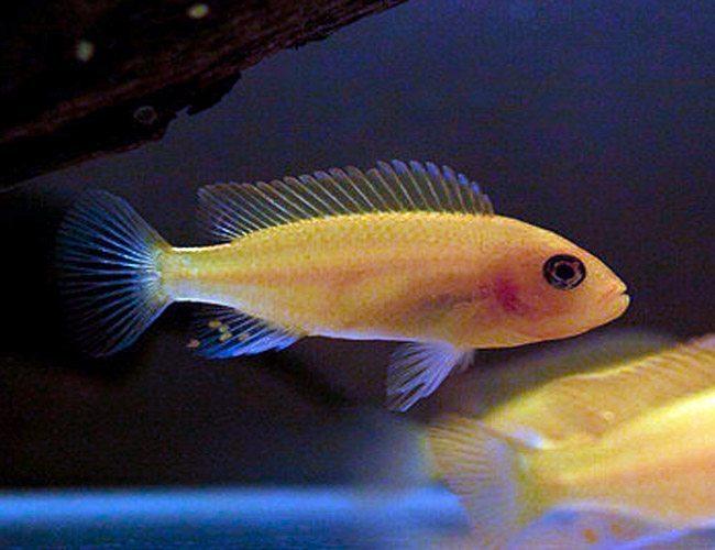 Rock Dwelling Mbuna Cichlid Freshwater Aquarium Fish Arizona