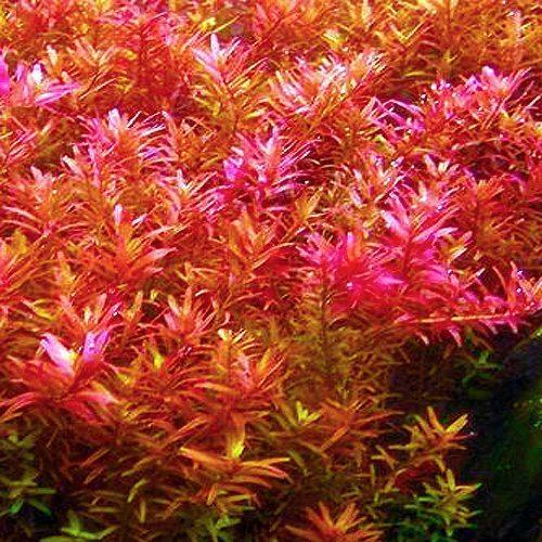 Rotala Magenta Bunched Aquarium Plant