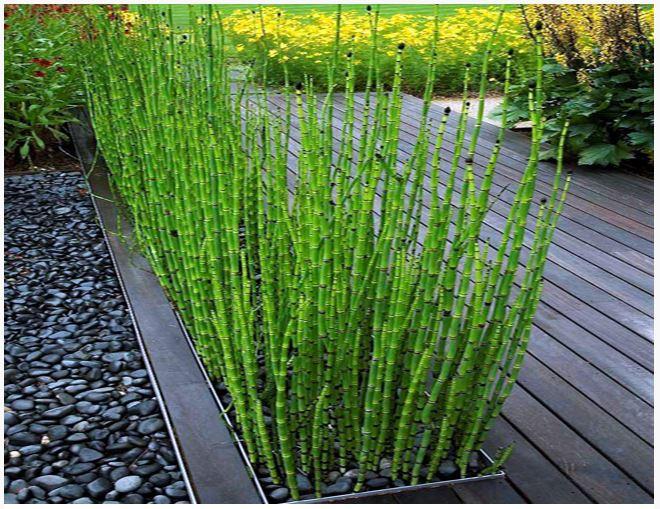 Rush Horsetail Or Equisetum Hyemale Bog Plant