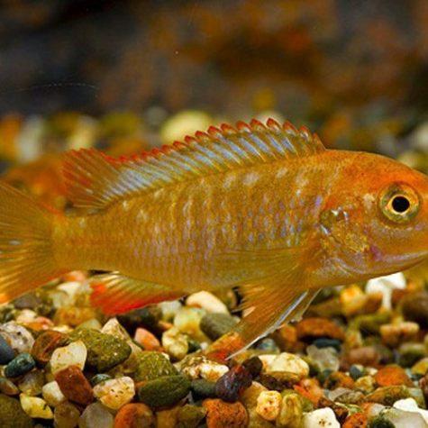 Rusty Cichlid, African Cichlids Aquarium Fish
