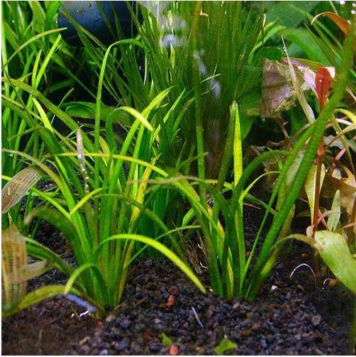 Sagittaria Subulata Tall Narrow-Leaf Aquarium Plant