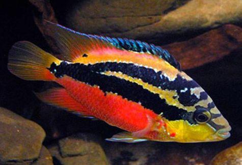 Black convict cichlid fish arizona aquatic gardens for Cichlid fish food