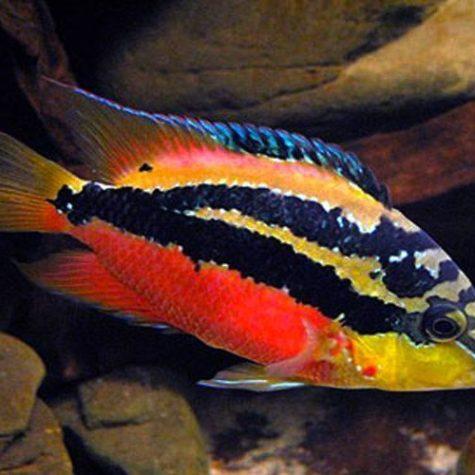 Salvini Cichlid Freshwater Aquarium Fish
