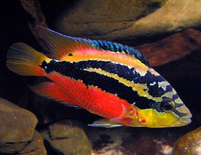 Salvini Cichlid Freshwater Aquarium Fish Arizona Aquatic Gardens
