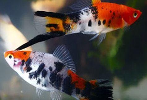 Koi kohaku swordtail aquarium fish arizona aquatic gardens for Sanke koi fish