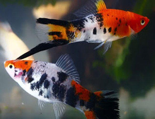 Koi sanke swordtail aquarium fish arizona aquatic gardens for Sanke koi fish