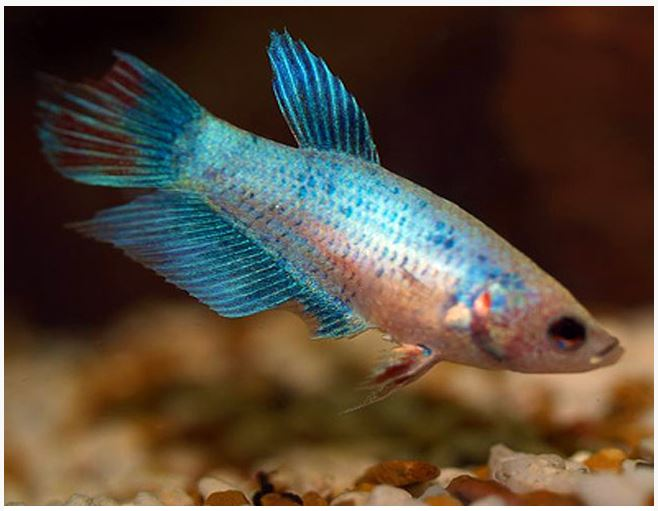 Siamese fighting female betta fish assorted colors arizona siamese fighting female betta fish assorted colors arizona aquatic gardens sciox Image collections