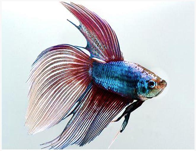 Siamese Fighting Male Betta Aquarium Fish Assorted Colors