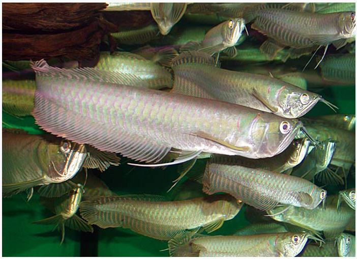 Silver Arowana Freshwater Aquarium Fish
