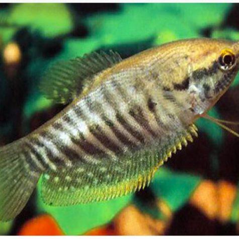 Snakeskin Gourami Fish