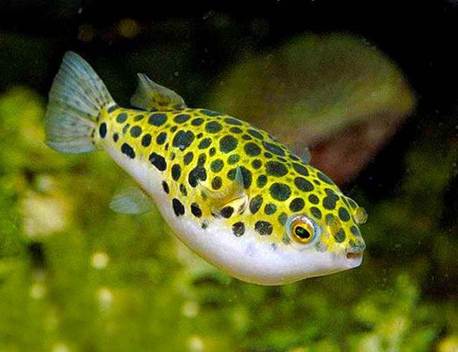 Spotted congo puffer arizona aquatic gardens for Spotted puffer fish