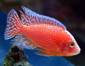 Strawberry Sunburst Peacock Firefish Cichlid