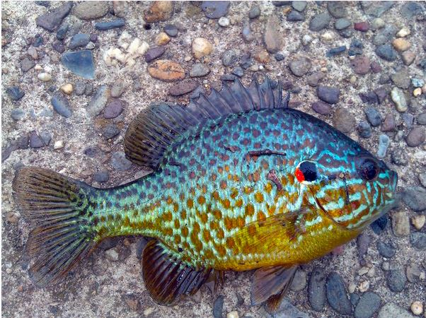 Sunfish Pumpkinseed Gamefish