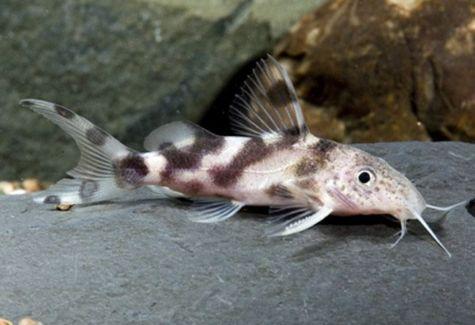 Freshwater Catfishes