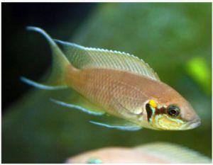"Tanganyikan Neolamprologus brichardi Large Princess Cichlid 3"""