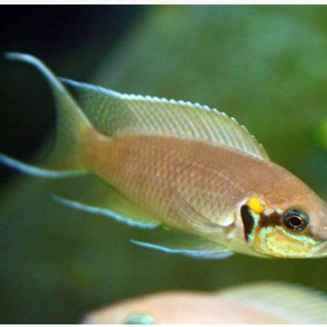 Tanganyikan Neolamprologus brichardi Large Princess Cichlid