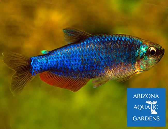 Rare Tropical Saltwater Fish Super Blue King Tropic...