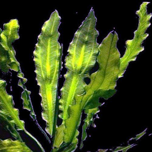 The Ruffle Martii Sword Plant