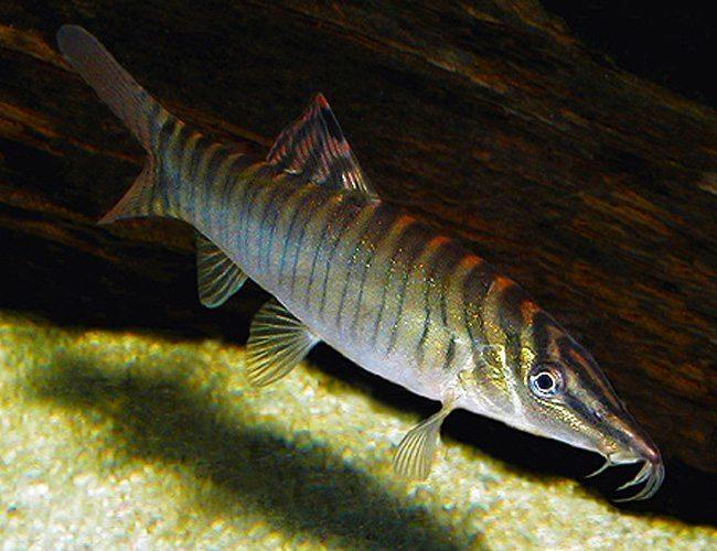 Candy stripe zebra loach arizona aquatic gardens for Tiger striped fish